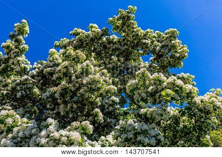 A Chinese Fringetree (Chionanthus retusus) Full of Flowery Blooms in Springtime. Growing in Texas.