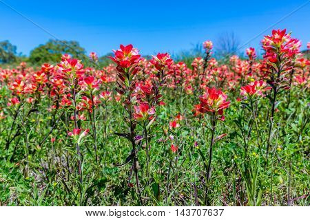 A Beautiful Closeup of Numerous Bright Orange Indian Paintbrush (or Prairie Fire) Wildflowers in the Texas Hill Country, with Blue Skies. Castilleja foliolosa.