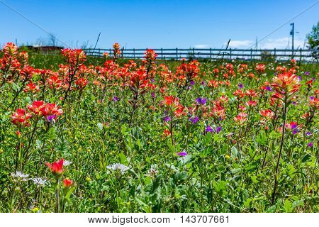 A Closeup Perspective of Beautiful  Bright Orange Indian Paintbrush (or Prairie Fire) Wildflowers in the Texas Hill Country, with Wooden Fence. Castilleja foliolosa.