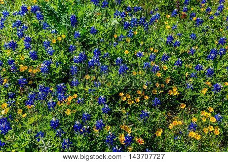 An Overhead Closeup View of Various Wildflowers Including the Famous Bright Blue Texas Bluebonnet (Lupinus texensis) and Small Yellow Wildflowers.