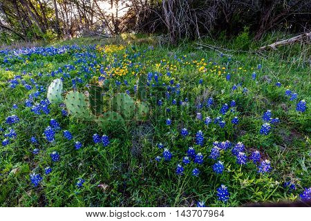 Beautiful Famous Texas Bluebonnet (Lupinus texensis) Wildflowers with Cactus at Muleshoe Bend in Texas.