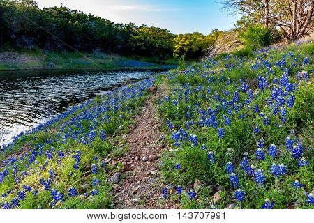 Beautiful Famous Texas Bluebonnet (Lupinus texensis) Wildflowers on a Rocky Trail at Muleshoe Bend with Lake Travis in Texas.