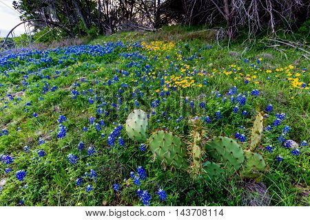 Beautiful Famous Texas Bluebonnet (Lupinus texensis) Wildflowers and a Cactus at Muleshoe Bend in Texas.