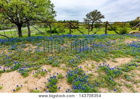 Famous Texas Bluebonnet (Lupinus texensis) Wildflowers Lining Fence of a Texas Ranch.
