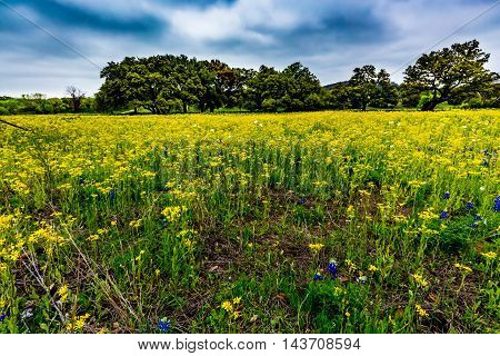 Various Texas Wildflowers Including Bluebonnets and Various Yellow Varieties (including cut leaf groundsel)