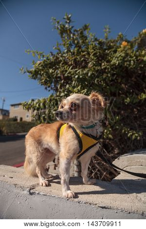 Small blond Chihuahua puppy dog in a yellow harness on a walk