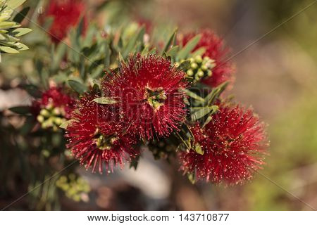 Spiky red puff flower Calliandra haematocephala on a green background in a botanical garden in summer