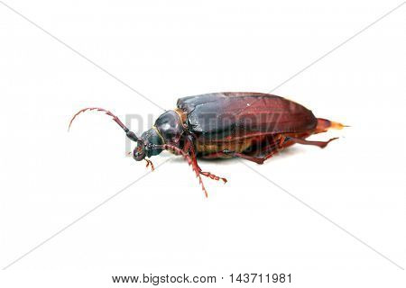 The California prionus beetle aka Prionus californicus, or the prionus root borer, is a large, boring insect whose larva feed on the roots of a variety of trees and shrubs often killing them.