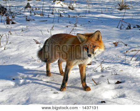 Red Fox 7