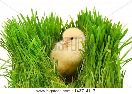 Small Yellow Chicken In Green Grass, Isolated On White