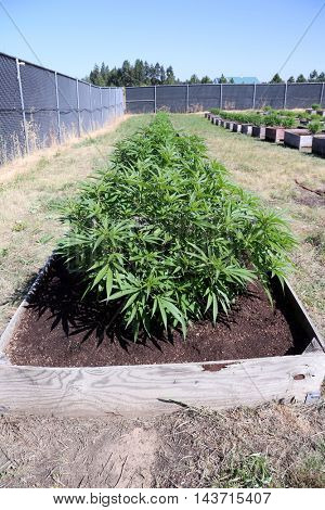 Legal Marijuana Plants being grown outdoors
