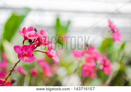 red orchid in orchid farm with a blur background