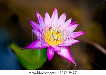 bee on the purple lotus with a blur background