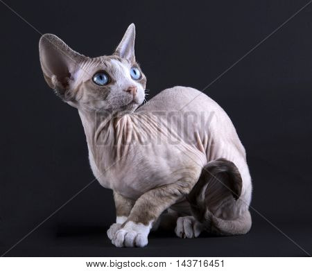 Kitten Devon rex on a black background