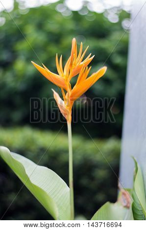 the yellow heliconia flower with blur background