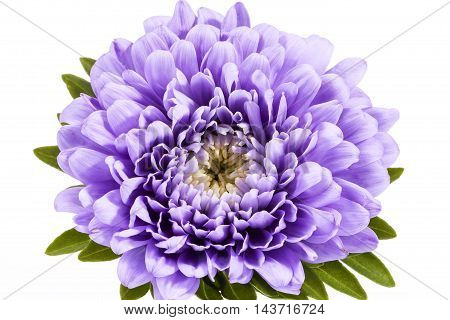 Single violet flower of aster isolated on white background close up