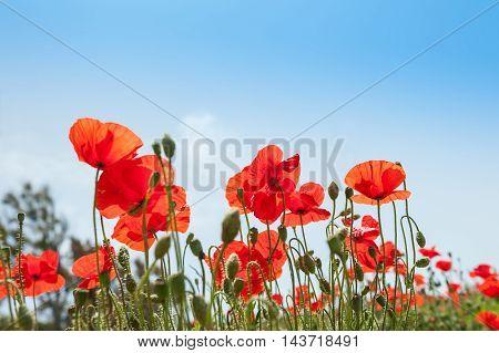 Red poppy flowers in a field. Summer landscape