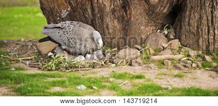 The Cape barren goose with her nest and eggs