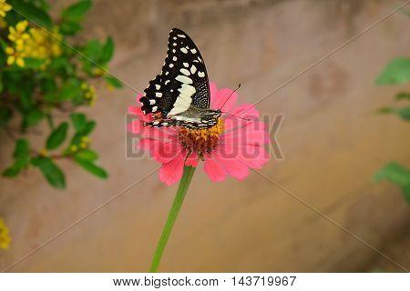 Butterfly on beautiful chrysanthemum pink flower in garden