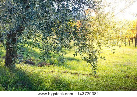 Beautiful sunrise landscape of Olive trees plantation.  Mediterranean olive field with old olive tree. Vegetable produce industry. Seasonal nature