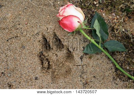 Pink rose beside a dog paw print in the beach sand.
