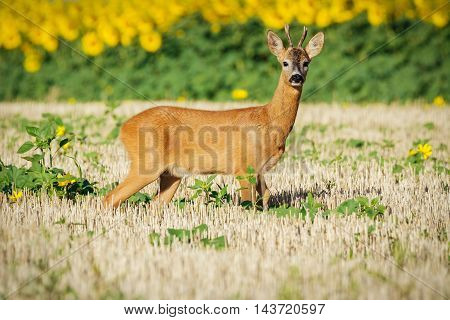 Roe deer on the golden wheat field