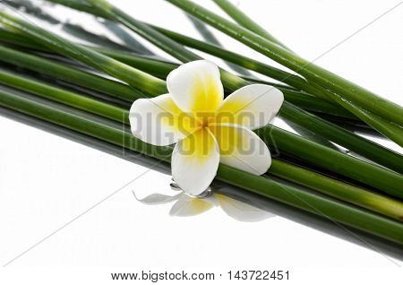 frangipani with bamboo grove-white background