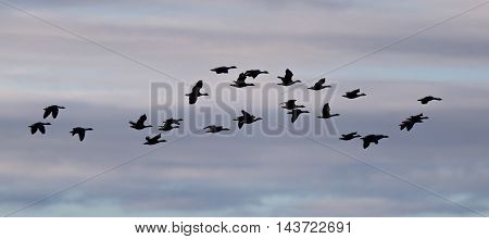 Flock Of Geese Anser Albifrons (silhouette) Flying Over The Atlantic Ocean