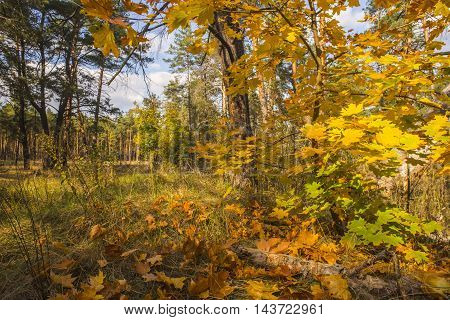 Bright autumn forest with fallen maple leaves in the foreground.