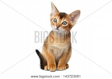 Little Abyssinian Kitty Sitting on Isolated White Background, Front view, Baby Animal