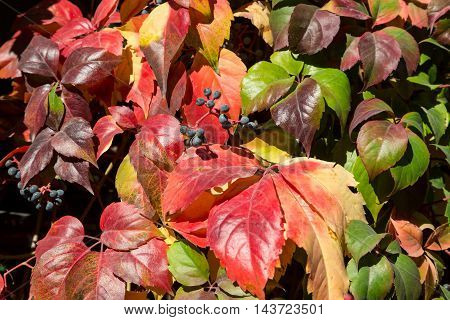 Bright luminous nature Background made off Fence of Autumnal Colors Leaves and curly branches