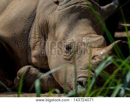 Sleeping Rhino Portrait