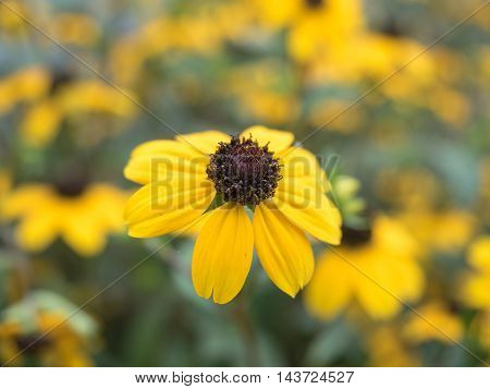 Yellow daisy closeup, big flower on blurred green background, soft selective focus