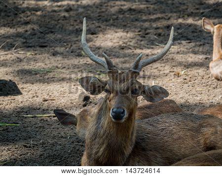 Close Portrait Of A Male Deer