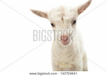 little white goat on a white background