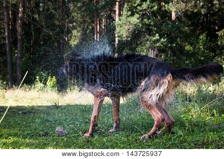 Wet Dog Shakes Off In A Summer Day