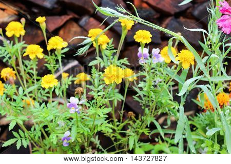 Yellow marigolds in the flowerbed after the rain