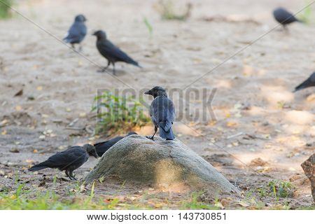 flock of jackdaws on the beach in summer
