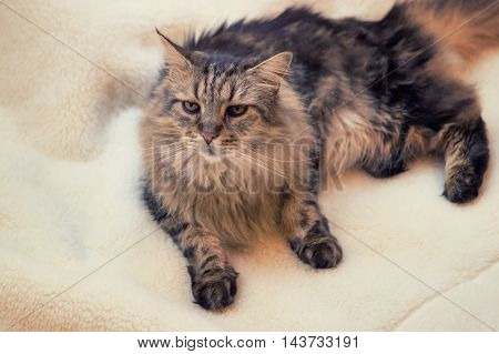 Maine coon cat on white wool background