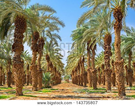 Date palms have an important place in advanced desert agriculture of the Middle East