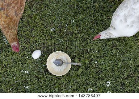 Overhead shot of chicken picking up cheese around a bowl with spoon and egg