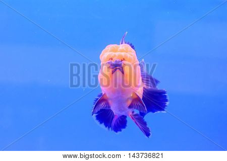 Goldfish Isolated In The Cabinet