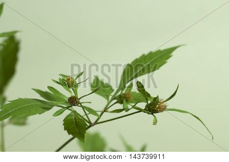 Bidens tripartita on a green background closeup