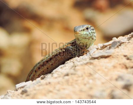 Wall blizzard on a rock, sunbathing. Reptile with defocused background.