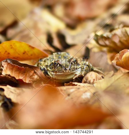 brown frog or toad on a forest floor, close-up shot with selective focus.