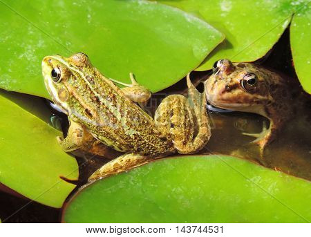 Two frogs in a frog pond with water lily leaves.