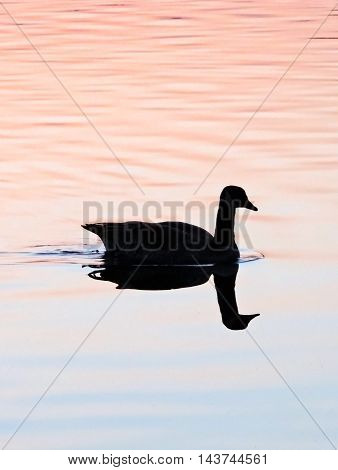 Swimming duck or goose in the sunset.