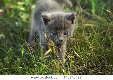 little smoky blue cat in the green summer grass