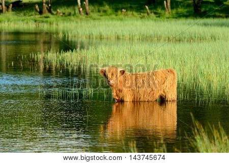 A Highland Cow standing in water to cool off on a hot summer day.