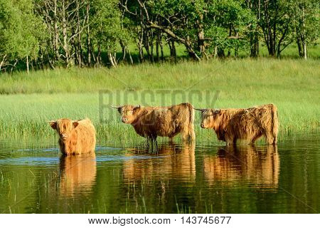 Three Highland Cows standing in water to cool off on a hot summer day.